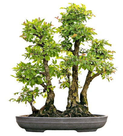 bonsai: Japanese Evergreen Bonsai on Display Isolated on White Background