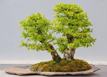 Japanese Evergreen Bonsai on Display grey background photo
