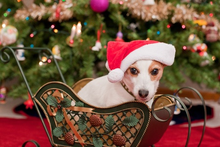 Cute Little Dog with Christmas Hat Sit in Sleigh infront of Tree