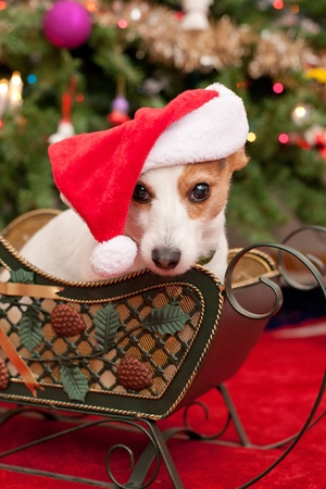 Cute Little Dog with Christmas Hat Sit in Sleigh infront of Tree photo