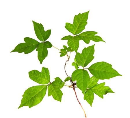 yedra: Tres hojas de la hiedra venenosa Primer Aislado sobre fondo blanco Foto de archivo