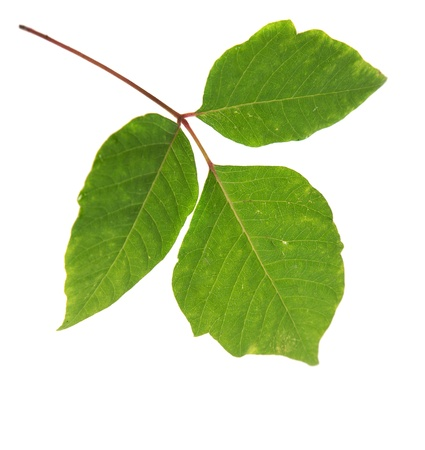 Three Leaves Poison Ivy Closeup Isolated on White Background photo