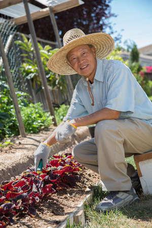gardener: Senior Asian Gardener Working in Vegetable Garden in Summer
