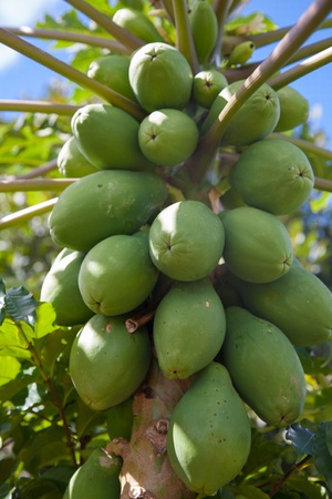 Close up of papaya fruits on the tree in Hawaii Plantation Field