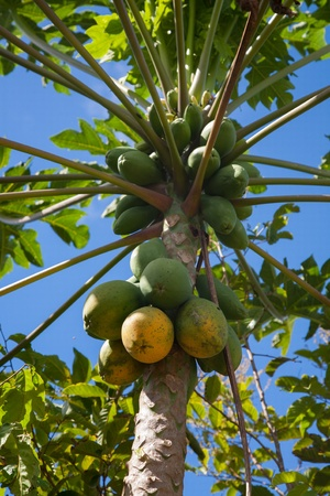 Close up of papaya fruits on the tree in Hawaii Plantation Field Stock Photo - 21569854