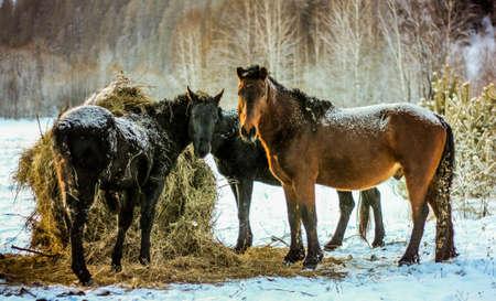 siberia: Group of horses on the nature of Siberia, Horse, siberia, nature, animals, russia, rustic