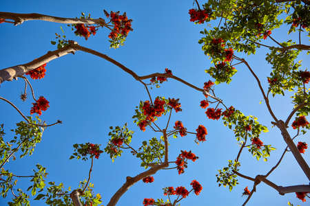 Beautiful flowers on tropical tree against the blue sky in Los Angeles Stock Photo