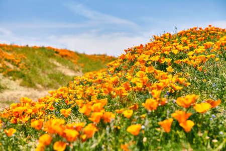 Fields of California Poppy during peak blooming time, Antelope Valley California Poppy Reserve 版權商用圖片