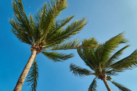 Leaves of coconut palms fluttering in the wind against blue sky. Bottom view. Bright sunny day. Riviera Maya Mexico.