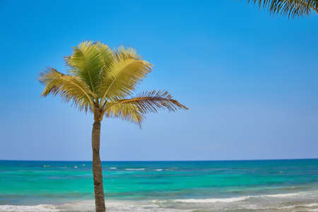 Coconut palm lonely grows on a tropical beach. Turquoise water of the Caribbean Sea. Riviera Maya Mexico.