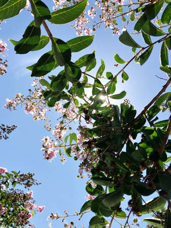 Tabebuia rosea is a Pink Flower neotropical tree and blue sky. common name Pink trumpet tree, Pink poui, Pink tecoma, Rosy trumpet tree, Basant rani.