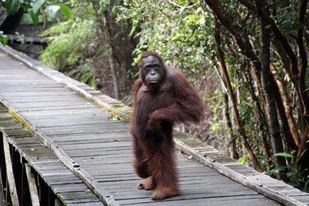 orangutang: Orangutan standing Stock Photo