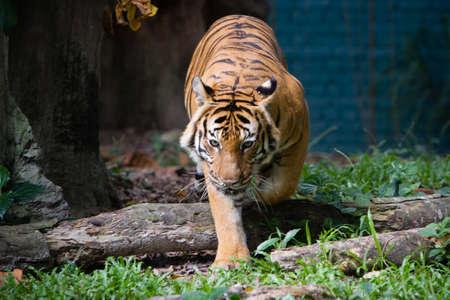malaiische Tiger