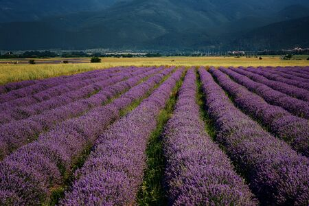 Lavender fields. Beautiful image of lavender field. Summer daily landscape, contrasting colors.