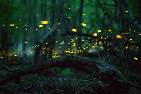 Abstract and bokeh light firefly flying in the wild forest. Fireflies (Lampyridae) flying in the forest at night time in Bulgaria.