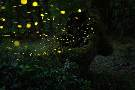 Abstract and bokeh light firefly flying in the wild forest. Fireflies Lampyridae flying in the forest at night time in Bulgaria. Stock Photo