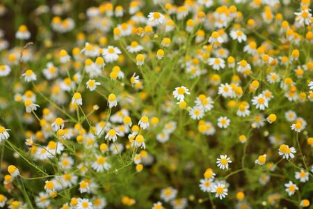 Magnificent spring wallpaper of daisies. Flower background. 免版税图像
