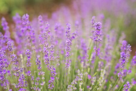 Close-up of lavender kissed from the morning sun.