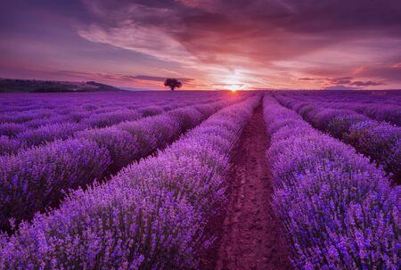 Lavender fields. Beautiful image of lavender field. Summer sunset landscape, contrasting colors. Dark clouds, dramatic sunset. 免版税图像
