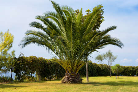 A beautiful palm tree near the beach, Zakynthos Island, Greece, summer season.