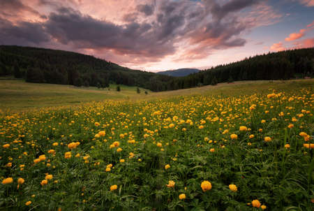 Fields of yellow peonies flower in Bulgaria. Dark clouds, contrasting colors. Magnificent sunset, summer landscape.