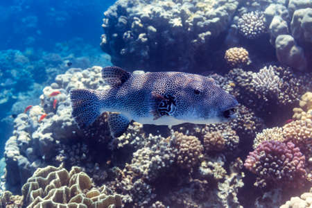 Giant puffer puffer -stellate, starry puffer, or starry toadfish in Red Sea, Egypt Stock Photo