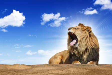 lion: roaring lion under blue sky