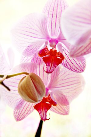 Beautiful tender orchid isolated on a white background
