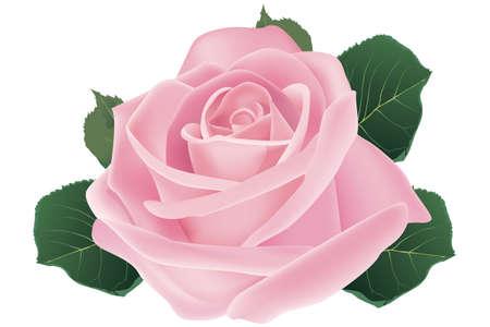 ピンクのバラの花 - イラスト