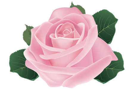 Pink rose blossom - Illustration Vector