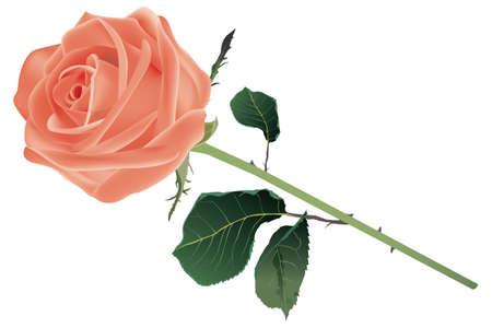 Mooie roos op wit wordt geïsoleerd