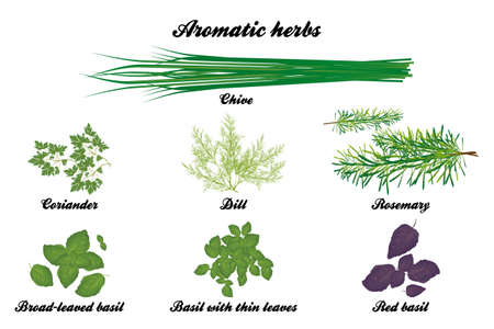 coriander: Aromatic herbs poster with all descriptions in english Illustration