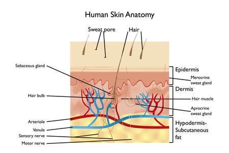 piel humana: Anatomía de la piel humana - ilustración detallada con designaciones en Inglés