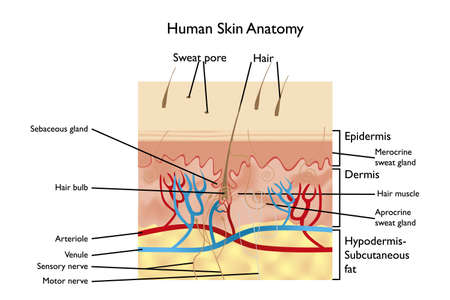 muscle cell: Human Skin Anatomy - detailed illustration with designations in English