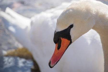 sidelong: The swan swimming gives us a side-long glance as it swims by in tight close-up.