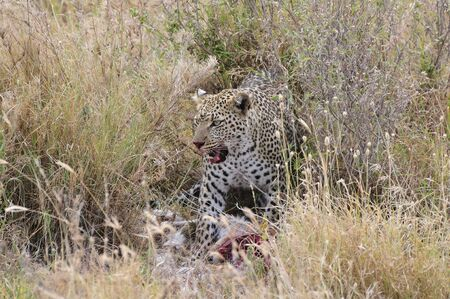 hunted: A leopard that just hunted a gazelle, and was nervous by the human presence Stock Photo