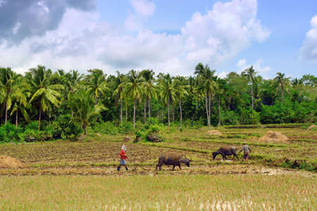 Asian farmers ploughing rice field with water buffalo in a tropical landscape.