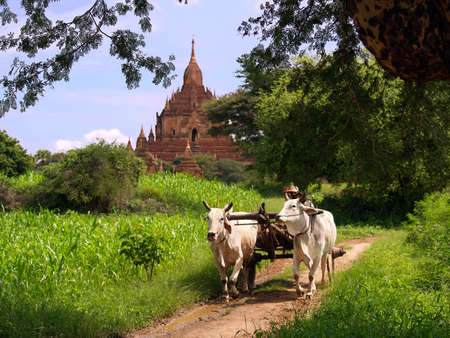 myanmar: Rural vintage scene of Myanmar (Burma), near Bagan, with temple ruins in the background and a farmer with his oxen in front. Stock Photo