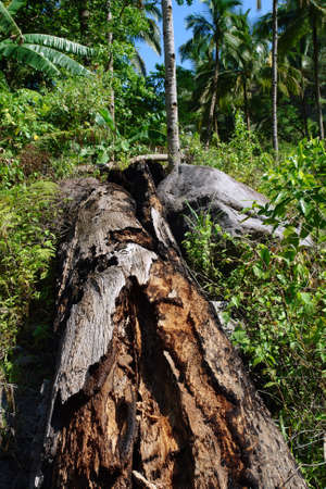 Rotting or decomposing tree trunk in a tropical unspoiled jungle or rain forest.