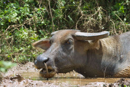 Cropped closeup head of a Philippine Carabao, the swamp water buffalo or domesticated