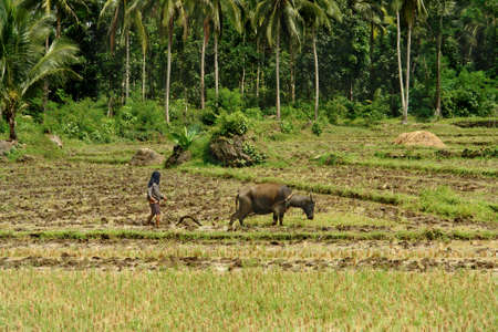 Southeast Asian poor farmer ploughing wet rice field with primitive methods using a domesticated swamp buffalo (carabao) in a tropical landscape.
