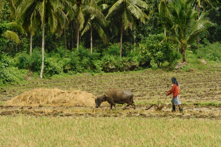 subsistence: Southeast Asian poor farmer ploughing wet rice field with primitive methods using a domesticated swamp buffalo (carabao) in a tropical landscape.