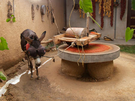 grinding: Draught or draft donkey in harness powering millstone grinding dried red peppers in a rural patio in Binxian city, Shaanxi province, China.