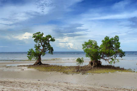 Two lone grown mangrove trees on a tropical beach in South-East Asia.