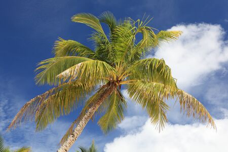 Detail of a tropical palm tree crown on the background of an azure summer sky.