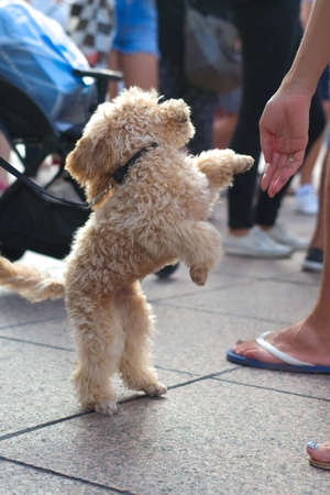 Curly blond poodle dancing for people's amusement