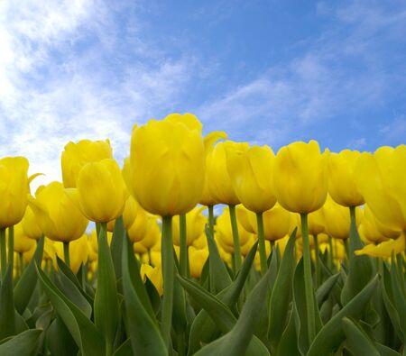 yellow tulips Stock Photo - 966615