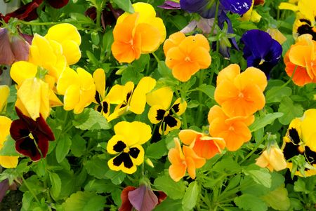 pansy             Stock Photo - 1118556