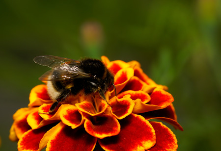 symbiotic: bumble bee on flower