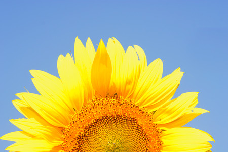 sunflower Stock Photo - 1613292